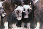 Musk Ox, Alaska