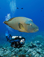 RH0275-D. Napoleon Wrasse (Cheilinus undulatus), and scuba diver (model released). Palau, Pacific Ocean.<br /> Photo Copyright &copy; Brandon Cole. All rights reserved worldwide.  www.brandoncole.com