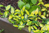 Vinca minor 'Illumination' variegated gold and green groundcover plant
