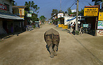 Beauty, the resident one-horned rhinoceros in the village of Sauraha, Nepal. Beauty, whose mother was killed by poachers when she was a baby, has lived in the streets of Sauraha since she was rescued by a village resident. She is relatively harmless to people, but she often gets the locals angry when she tramples through and destroys people's gardens and knocks over fences and riverside restaurant tables and chairs.