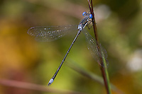 Spotted Spreadwing (Lestes congener) Damselfly - Male, Ward Pound Ridge Reservation, Cross River, Westchester County, New York