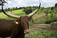 Rwanda. Southern province. Rugobagoba village. View on the green hills. Ankole cow with its big horns. Yellow plastic label on the right ear. © 2007 Didier Ruef