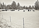 A small herd of cows graze in a snow-covered pasture in the Palouse of Washington State.