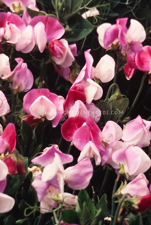 Lathyrus odoratus Cupid, pink and white sweetpea