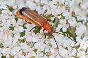Soldier Beetle (Rhagonycha fulva), Peak District National Park, Derbyshire, UK. July.