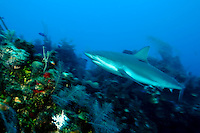 Silky shark swimming above a coral reef.