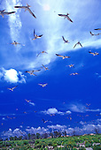 A flock of white terns soar above a green field on Midway Atoll in the Marshall Islands.