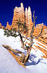 Pine and hoodoos in winter on the Queen's Garden Trail, Bryce Canyon National Park, Utah USA