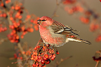 Male Pine Grosbeak (Pinicola enucleator) in Crab Apple Tree, Maine, USA.