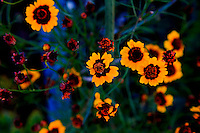 Brightly colored yellow flowers in a garden.