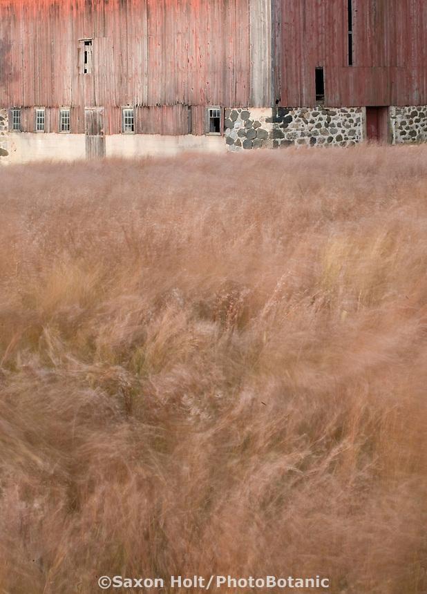Windy field of Schizachyrium scoparium (little bluestem) native grass field reddish fall color, agriculture Wisconsin, Prairie Nursery