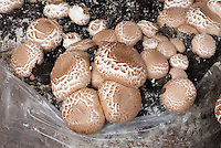 Mushroom Chestnut Bella growing in compost, Agrocybe aegerita, also called Agrocybe cylindracea or Pholiota aegerita