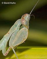 "0718-07ss  Wide armed mantis - Cilnia humeralis ""Nymph"" © David Kuhn/Dwight Kuhn Photography"