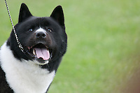 This Akita is showing at an AKC dog show in NY.