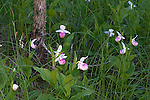 Showy Lady's-Slipper Orchid
