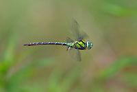 339550003 a wild male malachite darner remartinia luteipennis flies over a small stream near empire creek las cienegas natural area santa cruz county arizona united states