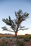 Evergreen tree on top of hill next to Horsetooth Reservoir.