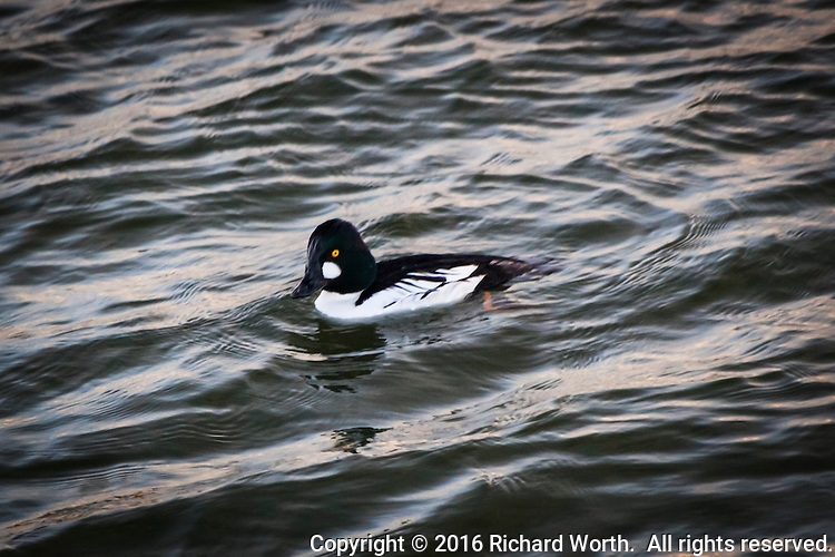 A glistening green-black head and engaging golden eyes, a Common goldeneye floats on the rippling water at San Leandro Marina along San Francisco Bay.
