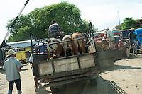 Cattle (Sapi) arriving at the livestock market