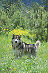Alaskan Malamute<br /> <br /> <br /> Shopping cart has 3 Tabs: <br /> <br /> 1) Rights-Managed downloads for Commercial Use<br /> <br /> 2) Print sizes from wallet to 20x30<br /> <br /> 3) Merchandise items like T-shirts and refrigerator magnets