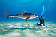 Tiger Shark, Galeocerdo cuvier, and scuba diver, West End, Grand Bahama, Atlantic Ocean