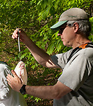 SOUTHBURY,  CT-051817JS15- Volunteer Craig Repasz of Hamden, weighs a bag that holds a captured bird during a bird banding study Thursday at the Audubon Center Bent of the River in Southbury. <br /> Jim Shannon Republican-American
