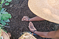 A gardener plants bean seeds directly in the rich dark soil.