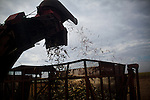 ITUMBIARA, BRAZIL - OCTOBER 16:<br /> A mechanized harvester cuts sugarcane stalks and drops into a giant bin pulled by a tractor, near the city of Itumbiara, in Goias state, Brazil, on Wednesday, Oct. 16, 2013. Since the US recently passed a number of regulations and standards for cars and dropped tariffs that were in place for decades against Brazilian sugar, Brazilian ethanol is now flowing to the U.S., and the ethanol industry in the country is consolidating and ramping up for a new era.