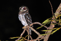 White-browed Hawk-Owl (Ninox superciliaris), Berenty Private Reserve, Madagascar