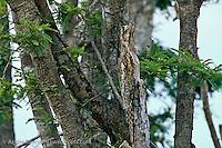 Common Potoo (Nyctibius griseus) perfectly camouflaged on a dead branch in savanna habitat, Llanos de Mojos, Beni, Bolivia.