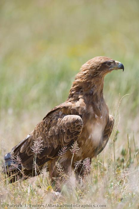 Tawny Eagle, Serengeti National Park, Tanzania, East Africa