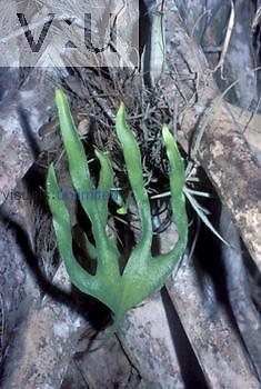 Hand Fern ,Ophioglossum palmatum,, a threatened species, Florida, USA.