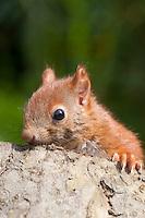 Europäisches Eichhörnchen, Jungtier, Sciurus vulgaris, European red squirrel, Écureuil d´Europe