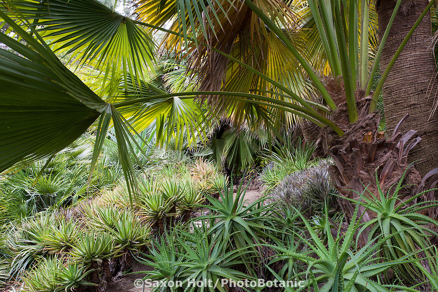 Bromeliads in shade under Brahea edulis (Guadalupe Palm) in drought tolerant California garden
