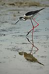 Black Winged Stilt, Himantopus himantopus, Camargue, long pink legs, black bill, wading in water, wader.France....