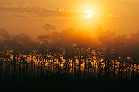 The sun rises above a pine hammock on a foggy morning in Everglades National Park, Florida.