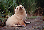 White morph Southern fur seal pup, South Georgia Island