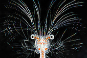 Deep-sea decapod crustacean larva (Sergestes)