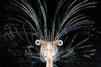 Deep-sea decapod crustacean larva (Sergestes)