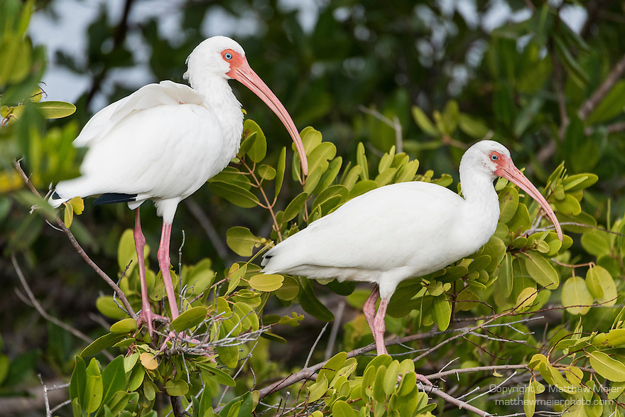 Ding Darling National Wildlife Refuge, Sanibel Island, Florida; a pair of White Ibis birds standing on branches of a large mangrove tree in afternoon sunlight