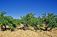 France. Rhone Valley. Old vines growing through riverside pebbles, galets.  Chateauneuf du Pape vineyard..