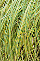 """Pampas grass (Cortaderia selloana 'Aureolineata' syn. Cortaderia selloana 'Gold Band'), mid August. """"This spectacular pampas grass has expansive foliage that makes a luxuriant, large, evergreen clump. The individual leaves, margined in slender bands of yellow, are over 1m long and razor sharp. Collectively the effect is dramatic, making a large mound of bright yellow and, unlike the white banded 'Albolineata', it is unaffected by cold winters or hot summers, keeping its foliage vibrant for most of the year ... Origin: South America."""" [Fergus Garrett, Great Dixter, Nurseryman's Favourites, Gardens Illustrated magazine, December 2013]"""