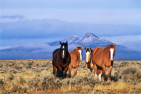 DFH-52   Four horses near Cody, Wyoming, Heart Mountain in distance.  Original:  35mm Transparency.