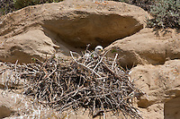 Golden eagle chick at nest in Northwest Wyoming