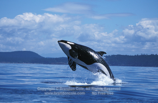 mp1. Orca or Killer Whale (Orcinus orca) breaching. Washington, USA, Pacific Ocean..Photo Copyright © Brandon Cole. All rights reserved worldwide.  www.brandoncole.com..This photo is NOT free. It is NOT in the public domain. This photo is a Copyrighted Work, registered with the US Copyright Office. .Rights to reproduction of photograph granted only upon payment in full of agreed upon licensing fee. Any use of this photo prior to such payment is an infringement of copyright and punishable by fines up to  $150,000 USD...Brandon Cole.MARINE PHOTOGRAPHY.http://www.brandoncole.com.email: brandoncole@msn.com.4917 N. Boeing Rd..Spokane Valley, WA  99206  USA.tel: 509-535-3489