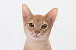 Abyssinian Cat - Male, Cream Silver Colour, 5 months old