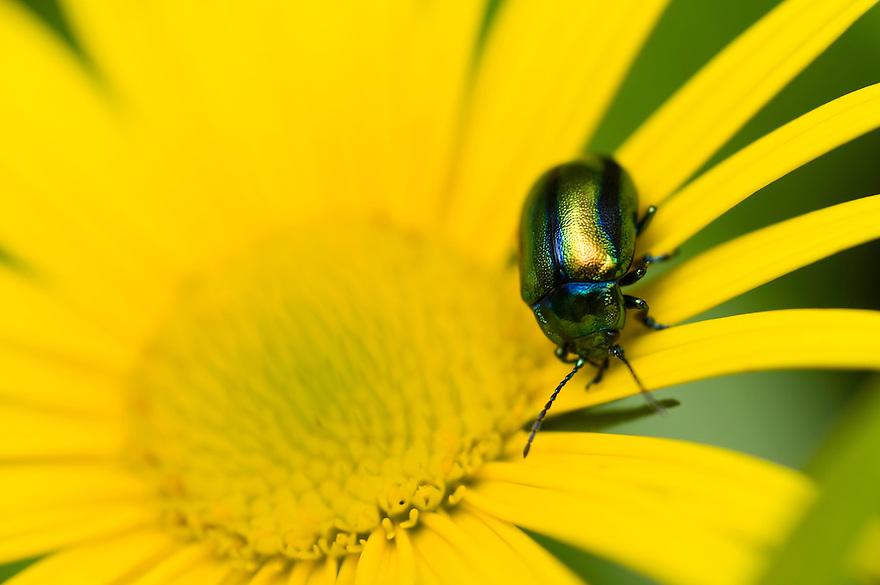 Leaf beetle (Chrysomela sp.), Martuljek valley<br /> Triglav National Park, Slovenia<br /> July 2009
