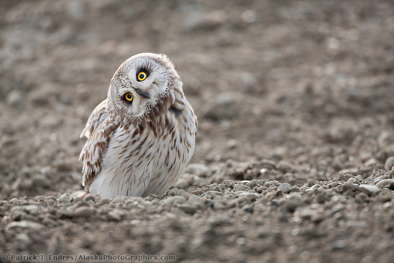 An inquisitve short-eared owl stares intently while standing on the a surface on Alaska's arctic north slope.