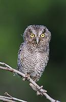 Eastern Screech-Owl, Megascops asio, Otus asio,young fledgling, Willacy County, Rio Grande Valley, Texas, USA