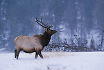 Elk or wapiti, Yellowstone National Park, Wyoming